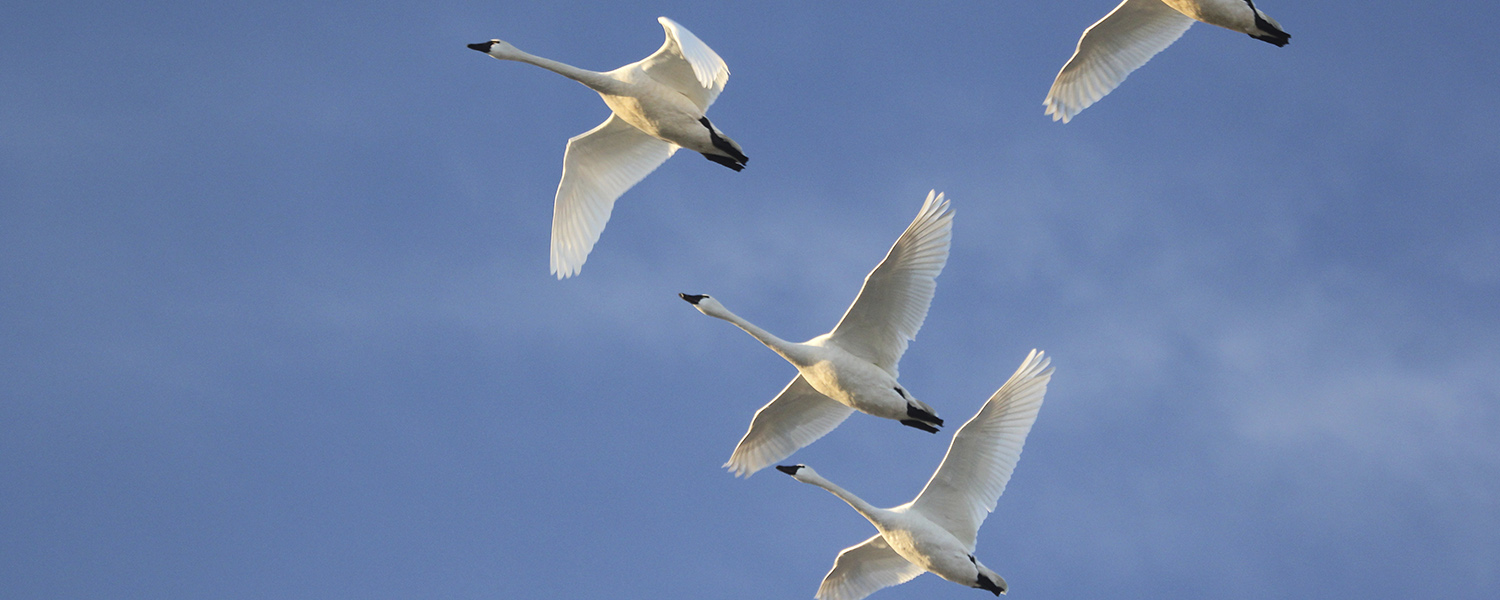 Tundra swans winging their way over marshes of the Great Salt Lake (with Arctic wilderness dripping from their wings)