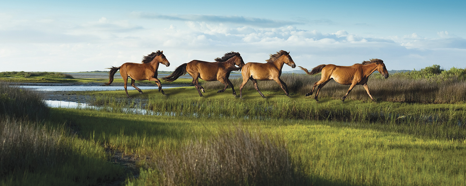 Wild horses gallop along the Crystal Coast
