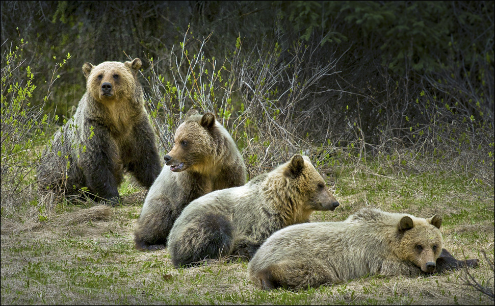 Grizzly cubs in British Columbia