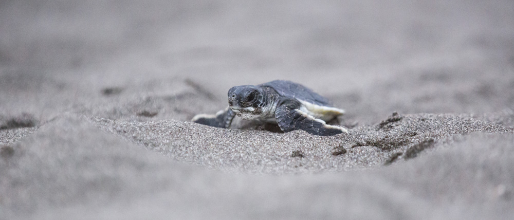 Baby turtles in Costa Rica