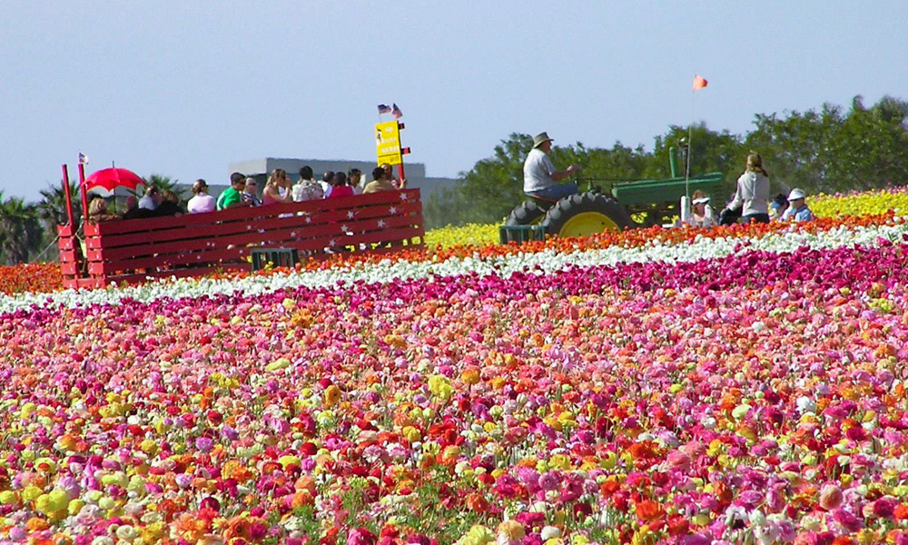 Wagon ride The Flower Fields in Carlsbad