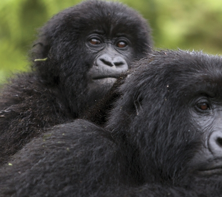 Gorillas at Bwindi Impenetrable Forest National Park in Uganda