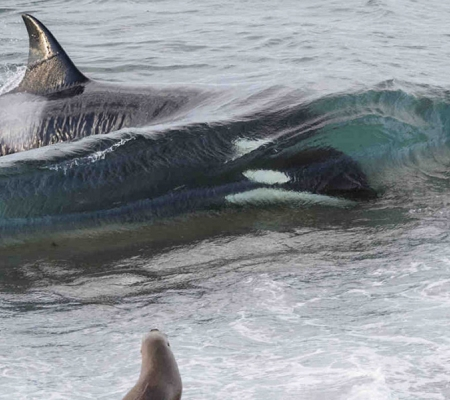 Killer whale in Argentina